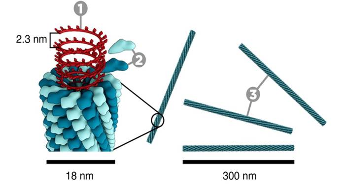 Figure. 1.  The construction of the Tobacco Mosaic Virus (TMV).  1, DNA; 2, Coat proteins (capsomer); 3, capsid.  Photograph courtesy of www.microbiologymadeeasy.com. 